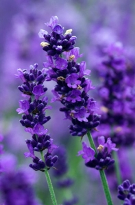 sensory lavender